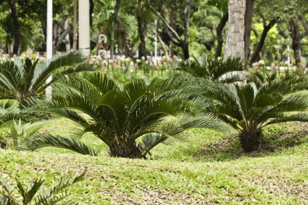 cycas: plant in garden Stock Photo