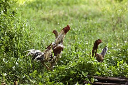 Domestic fowl photo