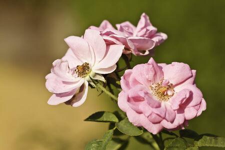 pink rose in garden photo