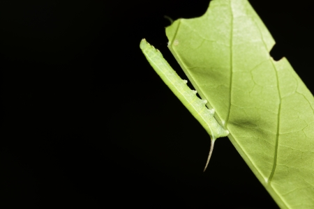 Macro caterpillar leaves photo