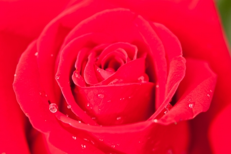 beauty of red rose photo