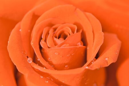 beauty of orange rose photo