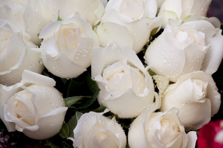 beauty of white rose photo
