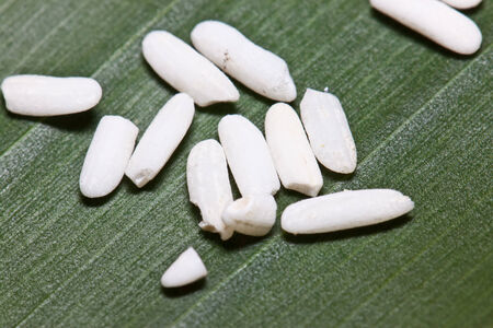 seeds of rice photo