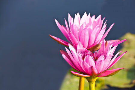 lotus in pond photo