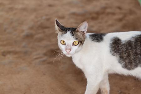 housepet: the little cat