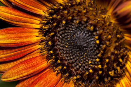 the sunflower photo