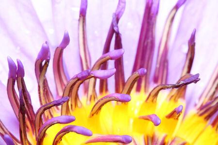 pollen of lotus photo