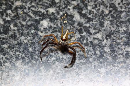 golden orb weaver: little spider