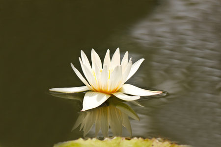 lovely lotus in pond