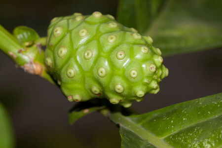 noni: fresh noni in garden