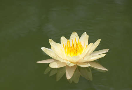 lovely lotus in pond photo