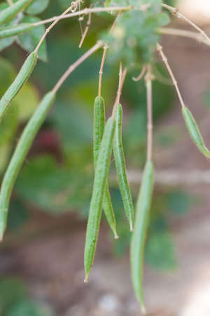 tare: seed of herb