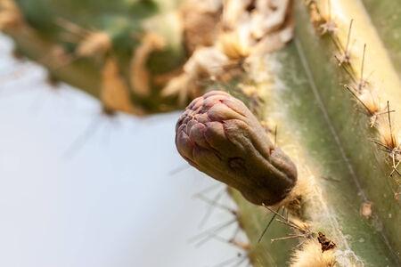 hemorrhoid: cactus in dry area