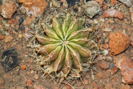 hemorrhoid: cactus in dry area