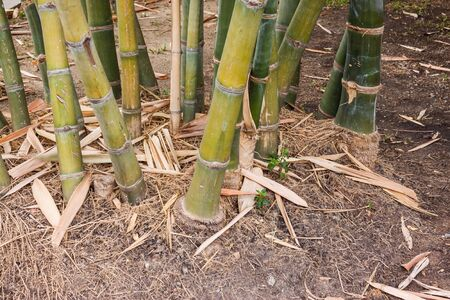 bamboo plant: the bamboo plant