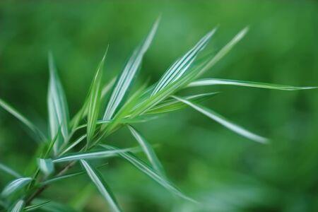 bamboo leaf photo
