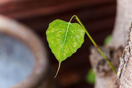 pipal: Bodhi leaf