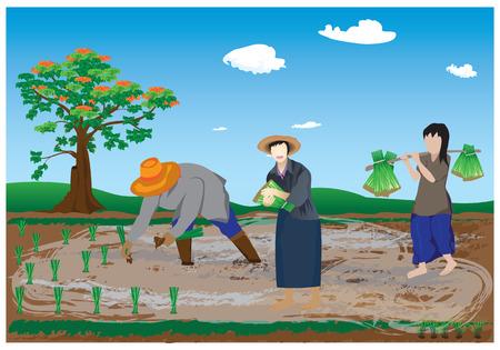 agriculturist transplant rice seedlings