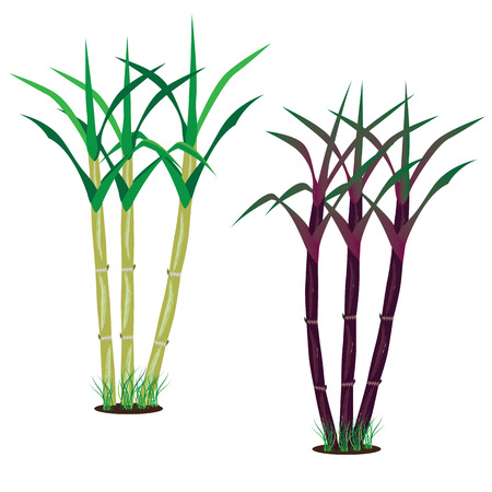 water plant: sugarcane vector design