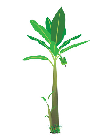banana leaf: banana plant Illustration
