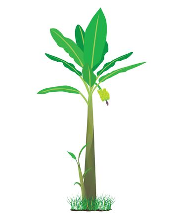 banana leaf: banana plant Illustration