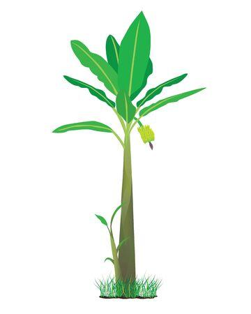 banana plant Illustration