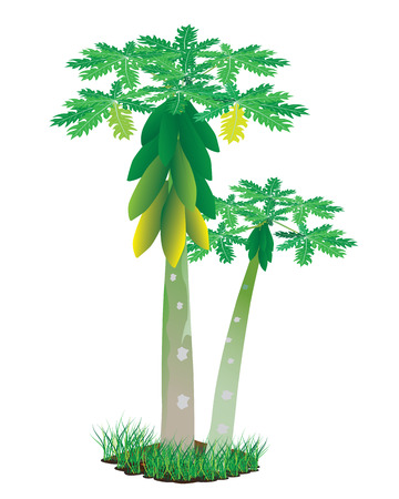 citrus tree: papaya plant vector design Illustration