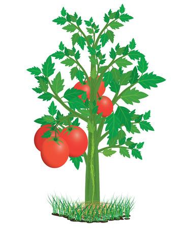 diseño de planta de tomate vector