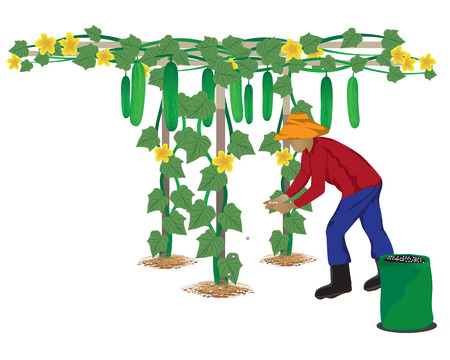 manure: agriculturist manure cucumber plant vector design