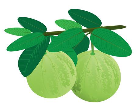 desing: guava vector desing Illustration
