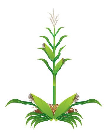 progettazione mais pianta vettoriale Vettoriali