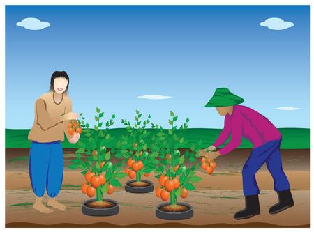 tomato plant: agriculturist harvest tomato plant vector design