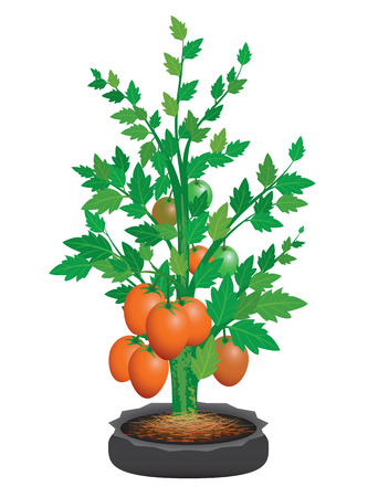 ripe tomato on plant vector design