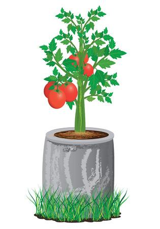 tomato plant: tomato plant with cement pot