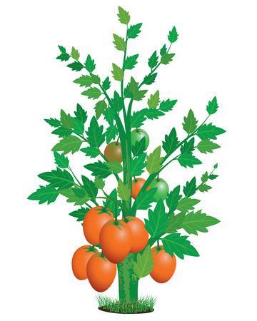 tomato plant: tomato plant vector design