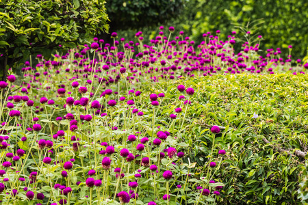 amaranth: beautiful amaranth in garden Stock Photo