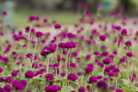 globosa: beautiful amaranth in garden Stock Photo
