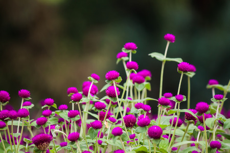 beautiful amaranth in garden Banque d'images