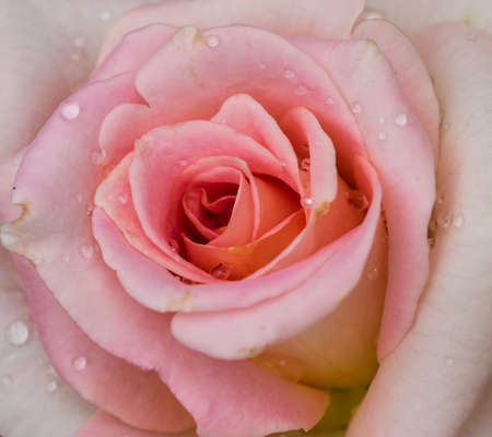 beautiful rose: Beautiful rose Foto de archivo