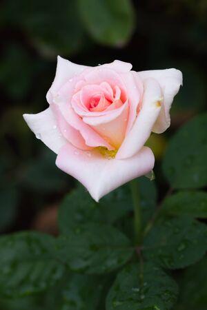 beautiful rose: beautiful rose in the garden