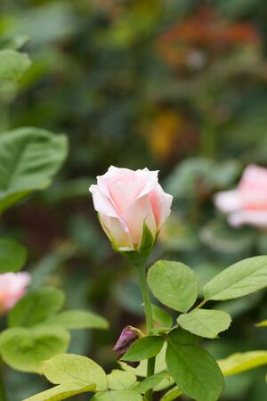 beautiful rose: beautiful rose in the garden