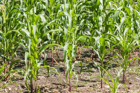 cropland: Corn garden