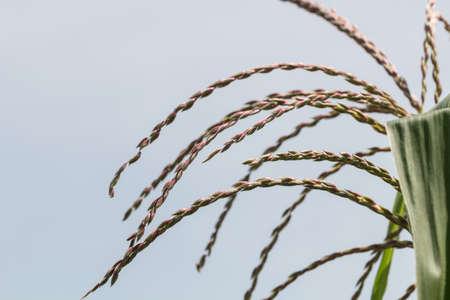 cropland: Corn flower