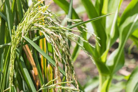 padi: Rice plant