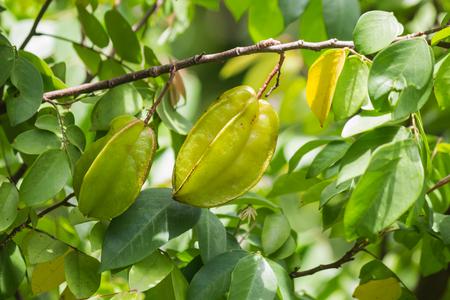 Star fruit on tree