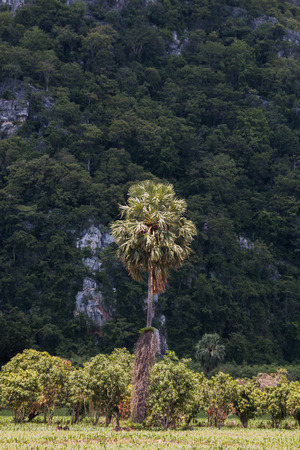 sugar palm: sugar palm in forest