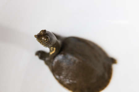 snapping turtle: snapping turtle Stock Photo