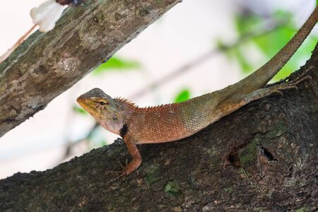 viviparous: the asia little lizard