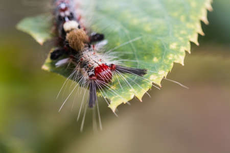 tomato caterpillar: macro worm on leaf